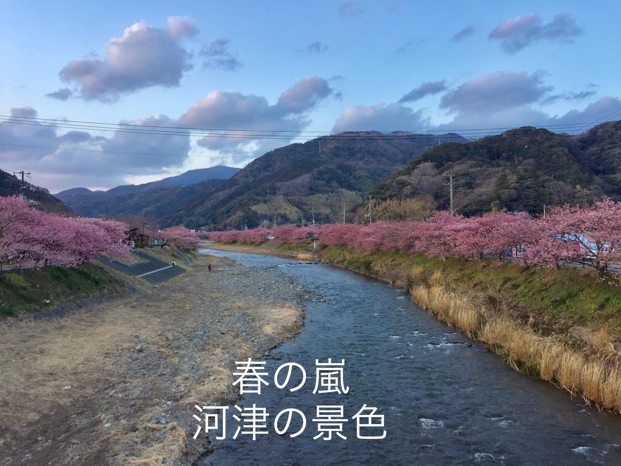 今年の河津桜の見頃は?&スッキリ!取材で知ったこと